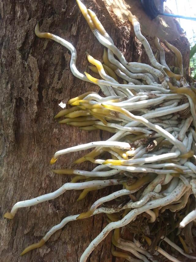 Chế phẩm sinh học Hùng Nguyễn siêu kích rễ chỉ 15 ngày sau phun