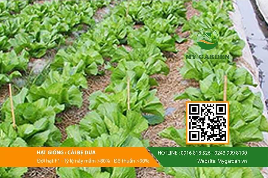 My garden đơn vị cung cấp Hạt giống cải bẹ dưa chất lượng