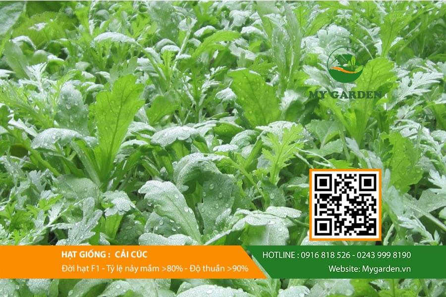 Hướng dẫn gieo trồng Hạt giống cải cúc tại nhà