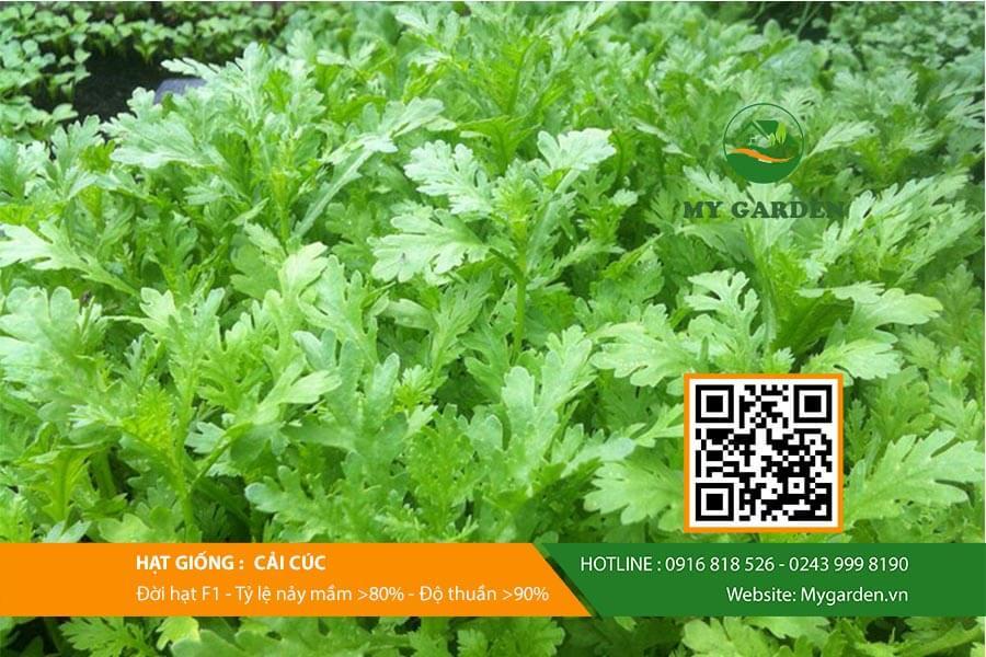 Đặc điểm của Hạt giống cải cúc Việt Nam