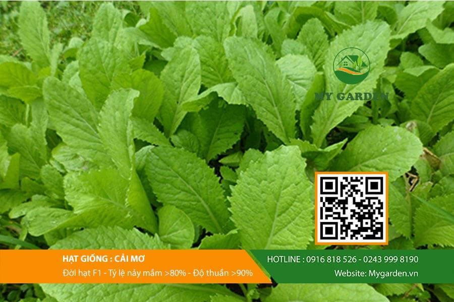 Hạt giống cải mơ F1 Việt Nam gói 20g