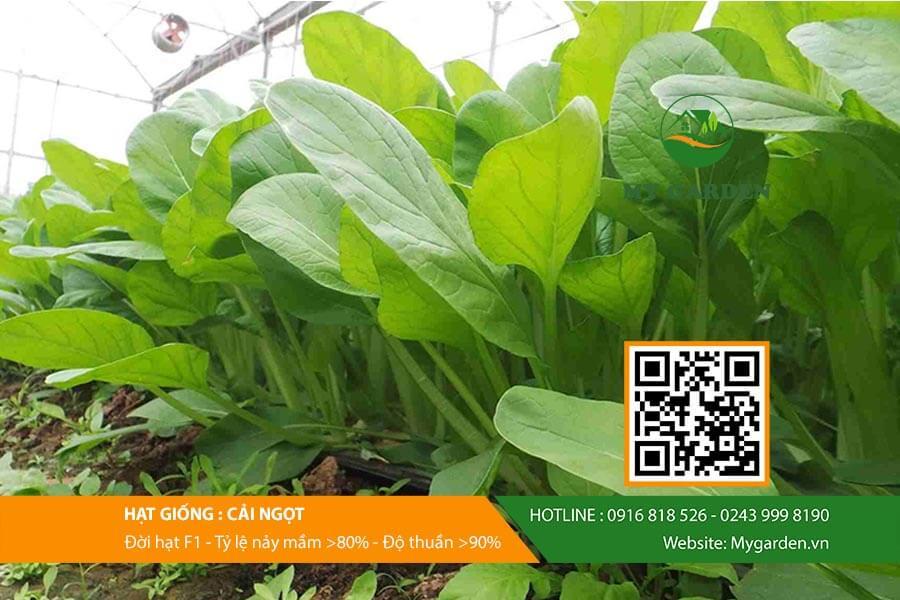 Cây cải ngọt từ hạt giống F1 Việt Nam