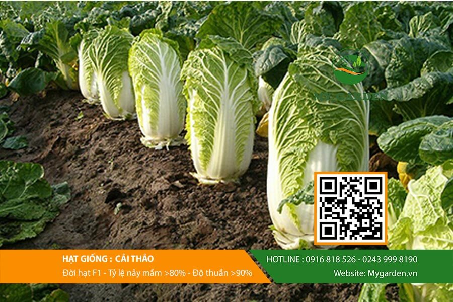 Hạt giống cải thảo F1 Nhật Bản gói 0,2 gram
