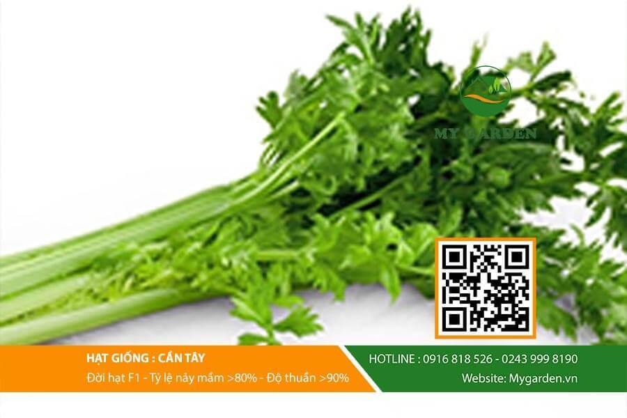 Cây cần tây tốt giúp tăng cường sức đề kháng, cải thiện hệ tiêu hóa