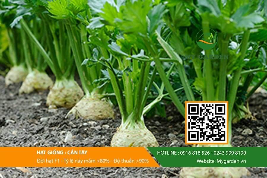 Bạn có thể gieo trồng hạt giống cây cần tây theo 2 cách