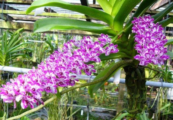 Chế phẩm Ngọc Linh giúp cây khỏe, sai hoa, tốt lá