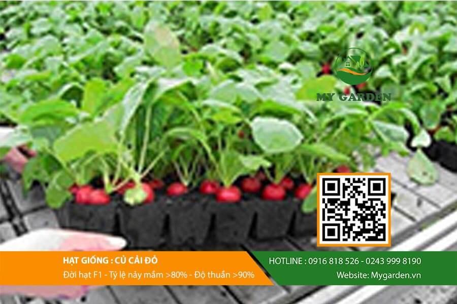 Cần lựa chọn hạt giống của cải đỏ có chất lượng đồng đều và hiệu quả cao