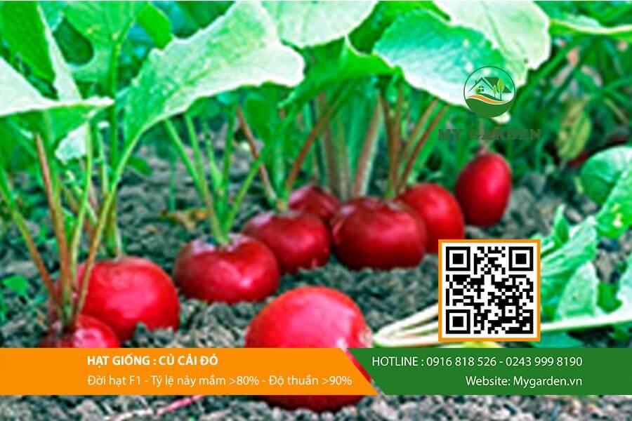 Củ cải đỏ dễ trồng và chăm sóc tại nhà