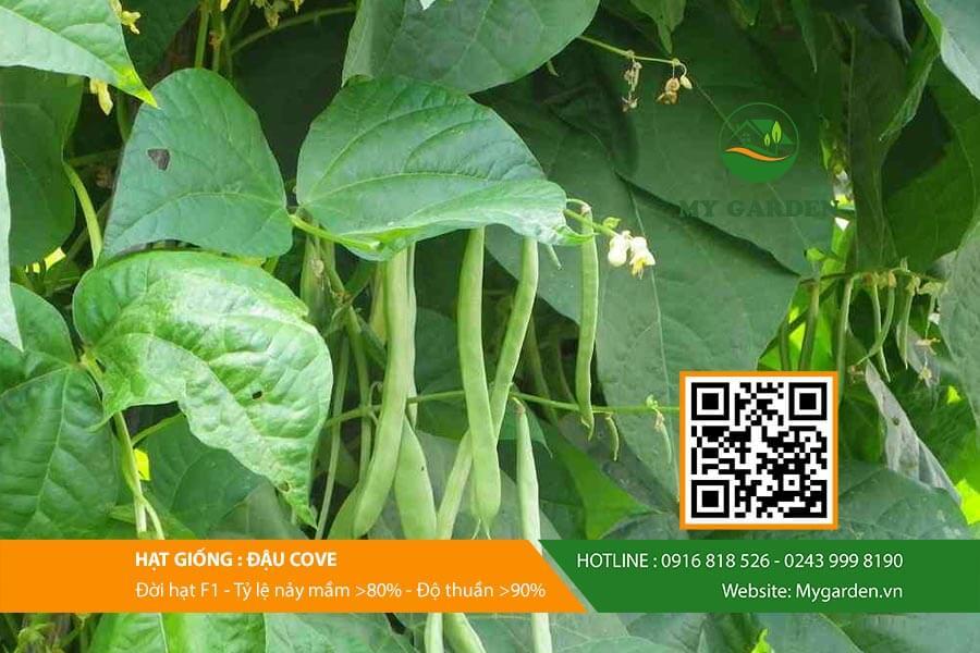Gieo trồng hạt giống đậu Cove rất đơn giản