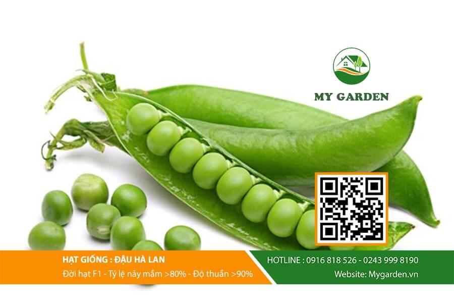 Cách gieo trồng Hạt giống đậu hà lan cho năng suất cao