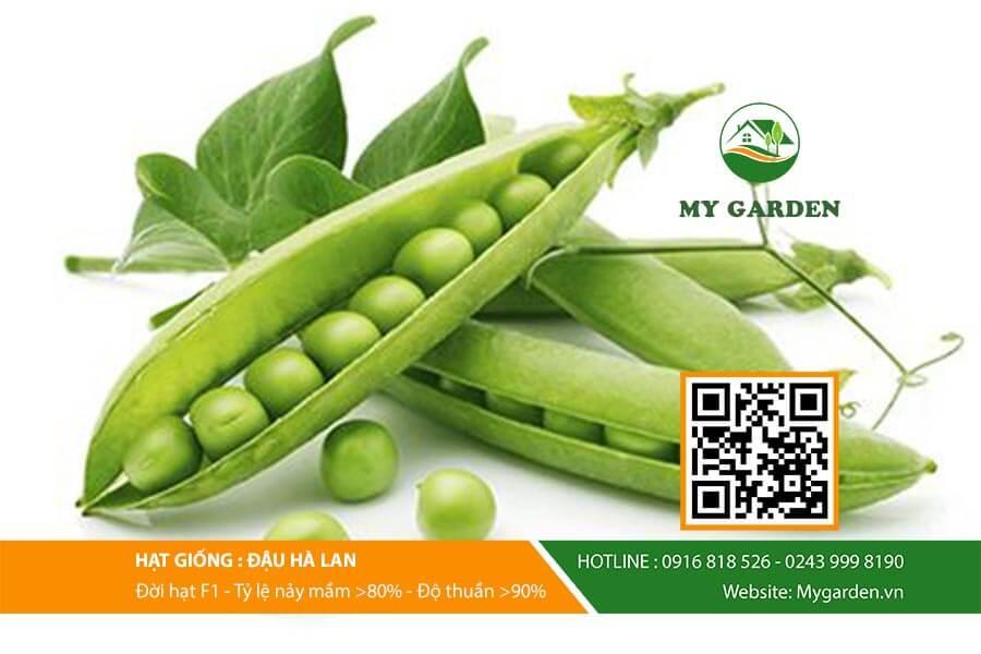 Hat-giong-Dau-ha-lan-My-Garden-hinh-3