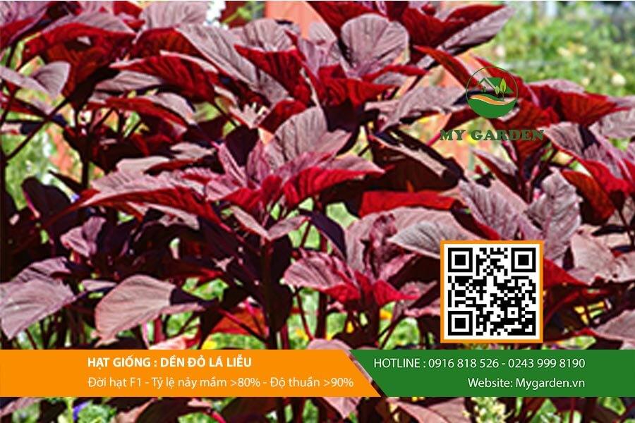 Hạt giống rau dền đỏ lá liễu F1 Việt Nam gói 50g là sản phẩm được nhiều người tin dùng