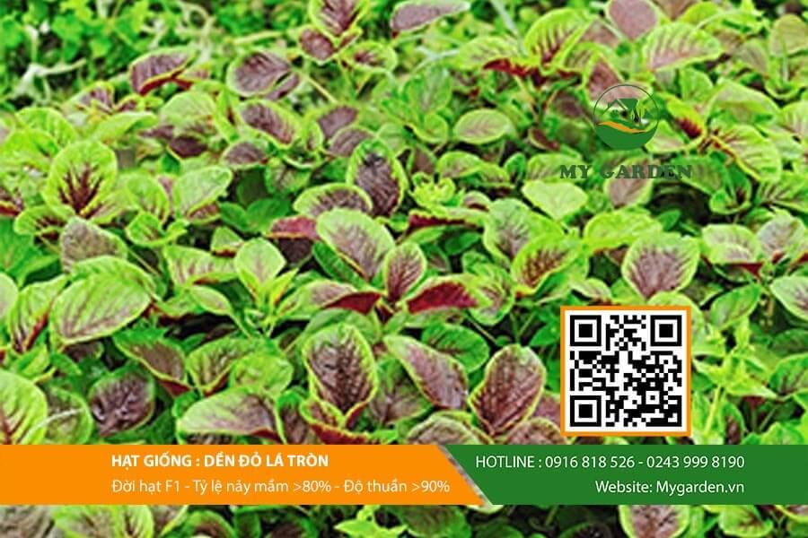 Giới thiệu về hạt giống rau dền đỏ lá tròn f1