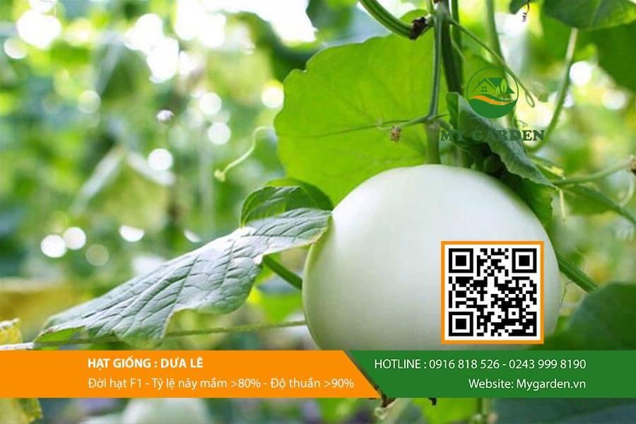 Địa chỉ bán hạt giống dưa lê được ưa chuộng nhất trên thị trường hiện nay