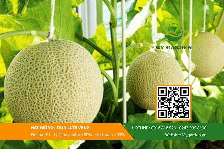 Hạt giống dưa lưới vàng đảm bảo chất lượnga-luoi-vang-My-Garden-hinh-2