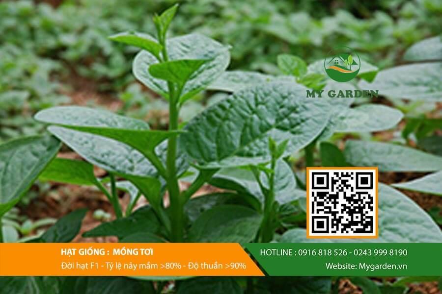 Hạt giống mồng tơi F1 Việt Nam gói 20 gram