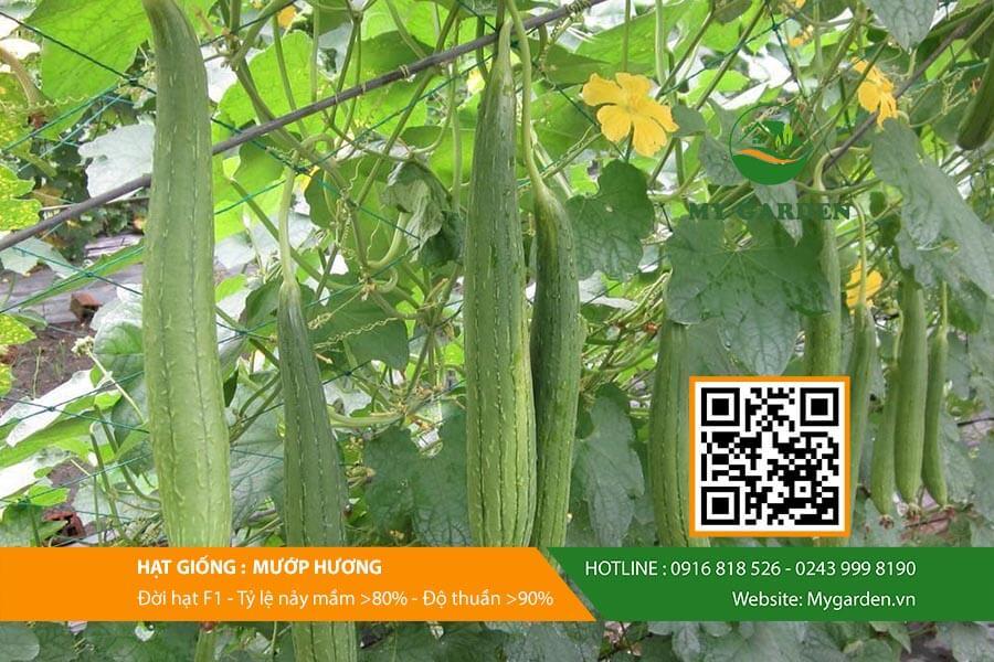 Thông tin về hạt giống mướp hương tốt