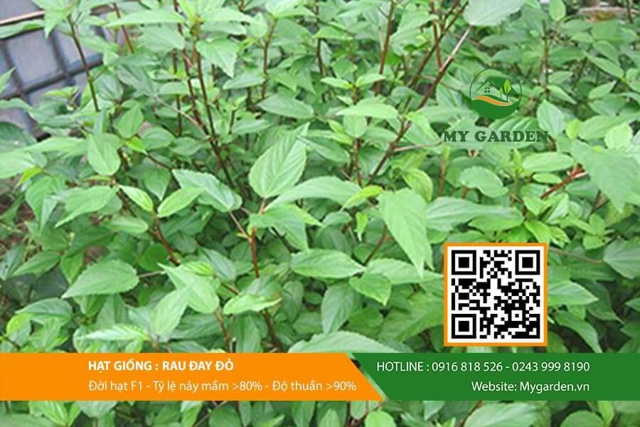 Hạt giống rau đay đỏ F1 Việt Nam gói 20 gram