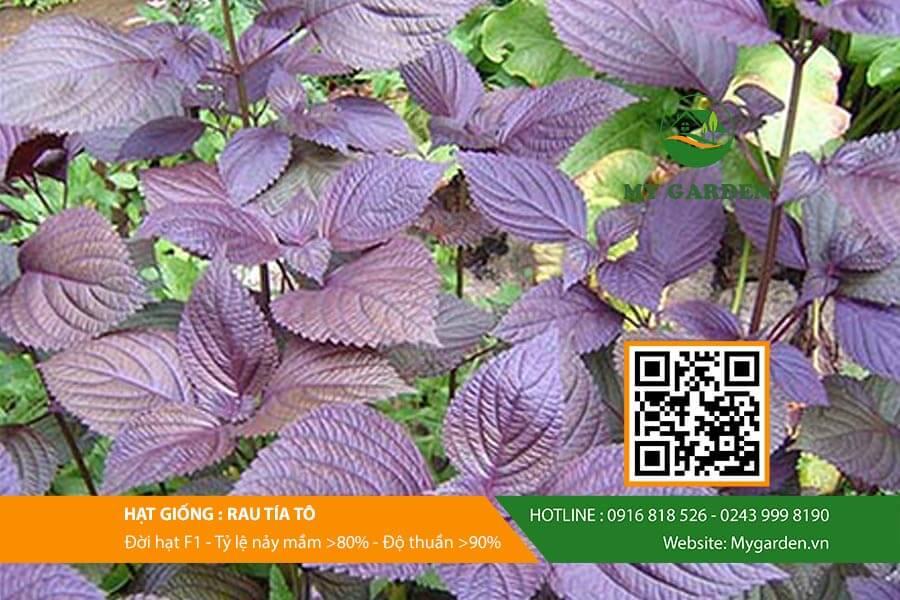 Hạt giống rau tía tô của My Garden luôn đảm bảo chất lượng tốt và năng suất cao