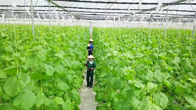 Mô hình trồng rau chuẩn theo quy định của Bộ NN & PTNT