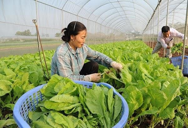 Người nông dân tiến hành thu hoạch theo đúng kỹ thuật