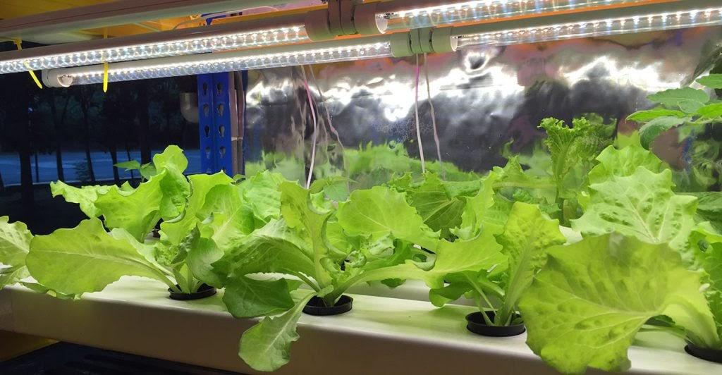 Đèn Led trồng rau sạch đang là mô hình trồng cây được ưa chuộng
