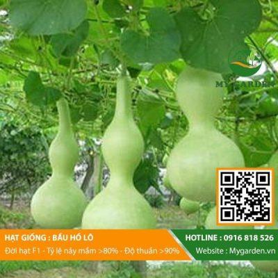 Hat-giong-Bau-ho-lo-mygarden-0916818526-hinh-2