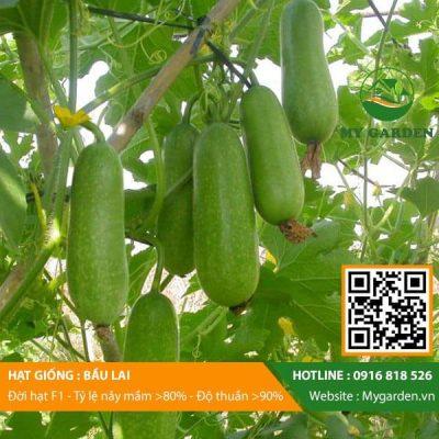 Hat-giong-Bau-lai-mygarden-0916818526-hinh-1
