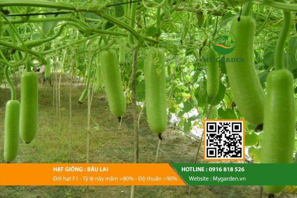 Hat-giong-Bau-lai-mygarden-0916818526-hinh-2