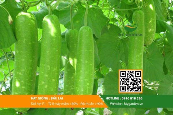 Hat-giong-Bau-lai-mygarden-0916818526-hinh-3