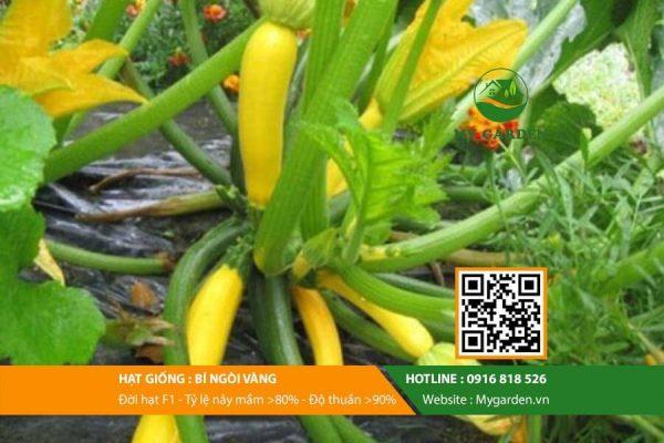 Hat-giong-bi-ngoi-vang-mygarden-0916818526-hinh-1