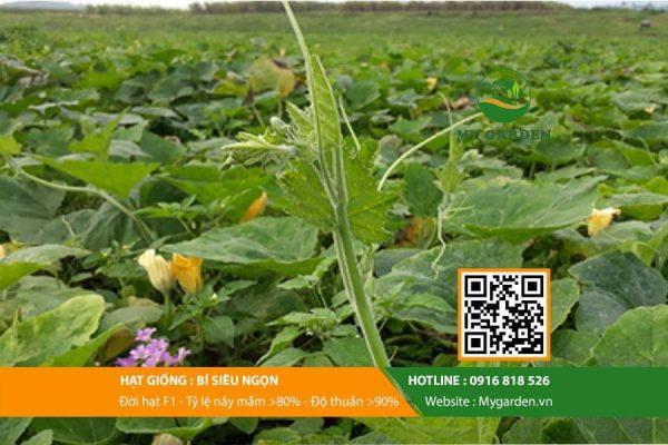 Hat-giong-Bi-sieu-ngon-My-Garden-hinh-11