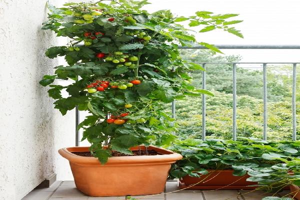 Cà chua trồng ban công