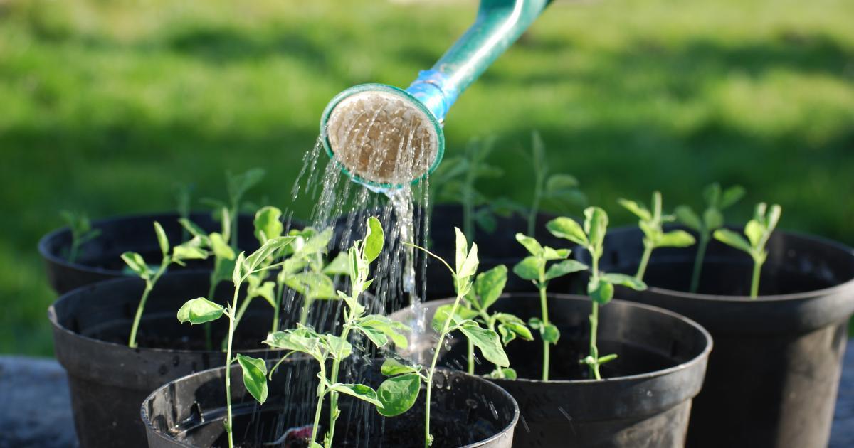Tưới nước phù hợp cho rau