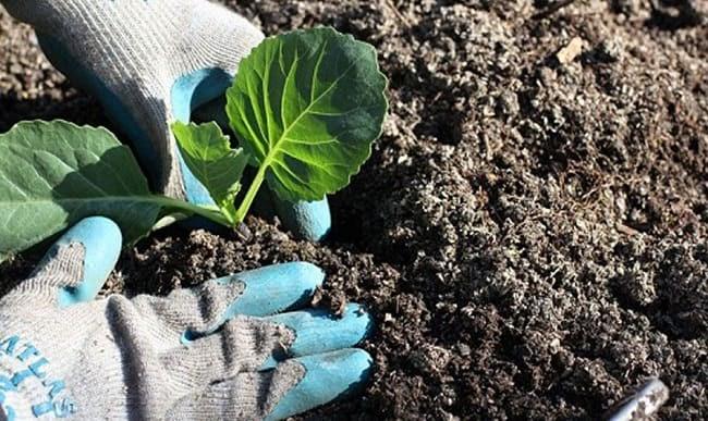 Sau thu hoạch rau nên cải tạo đất ngay