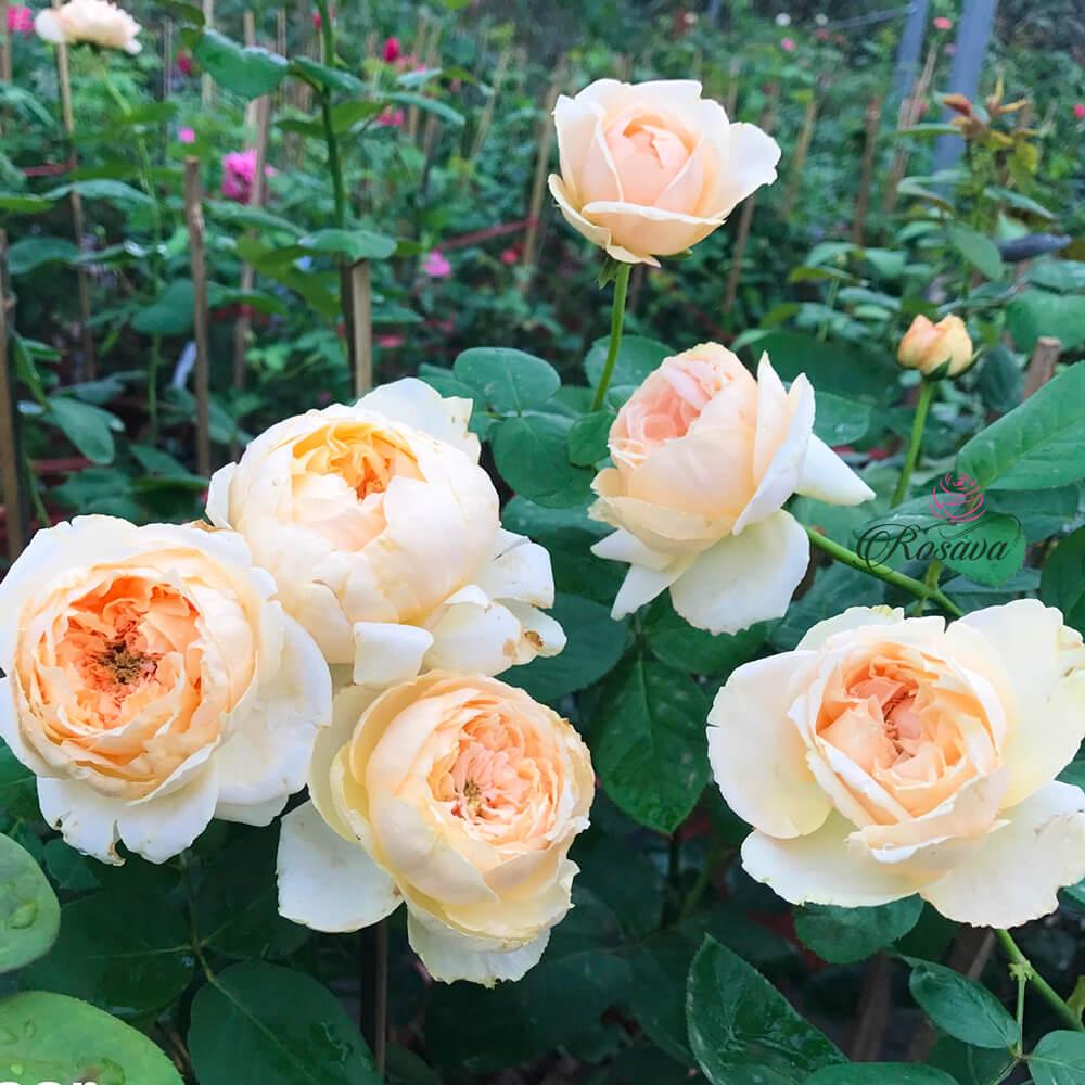 Hoa hồng leo, giống hoa đến từ Pháp