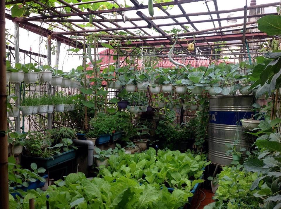 Trồng rau trên sân thượng giúp cung cấp nguồn thực phẩm sạch cho cả gia đình