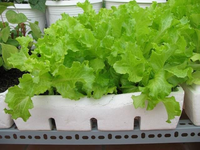 Xà lách - một loại rau thích hợp trồng trong thùng xốp