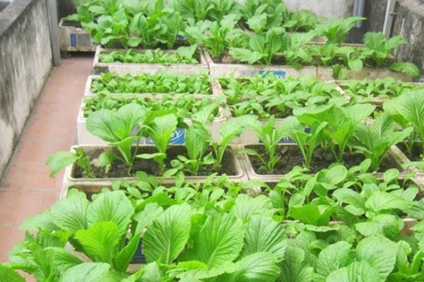 Cách trồng rau sạch thùng xốp đúng chuẩn là phải ngâm hạt giống trước khi gieo