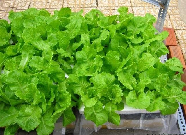 Cách trồng rau sạch thùng xốp hiệu quả nhất là phải sử dụng nguồn nước sạch để tưới rau mỗi ngày