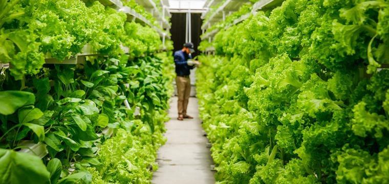 Quy trình trồng rau sạch áp dụng công nghệ Israel