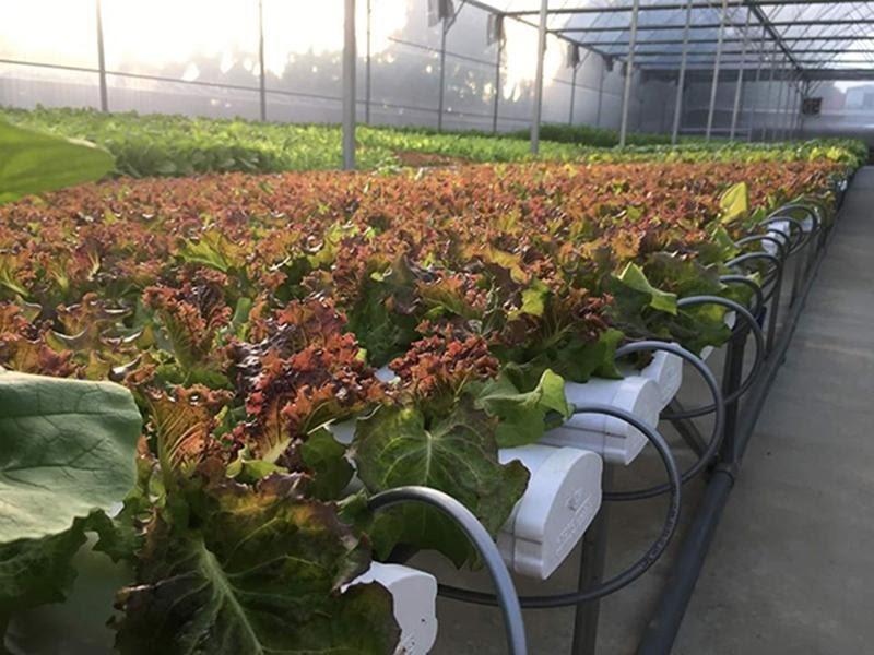 Công nghệ trồng rau NFT