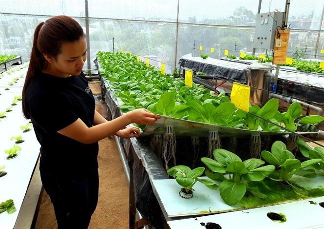 Kỹ thuật trồng rau khí canh