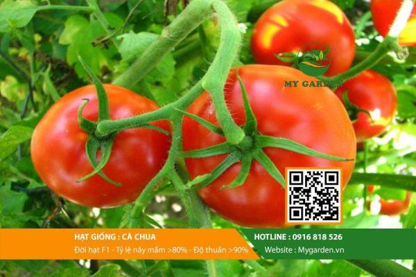 Hat-giong-Ca-chua-My-Garden-hinh-33