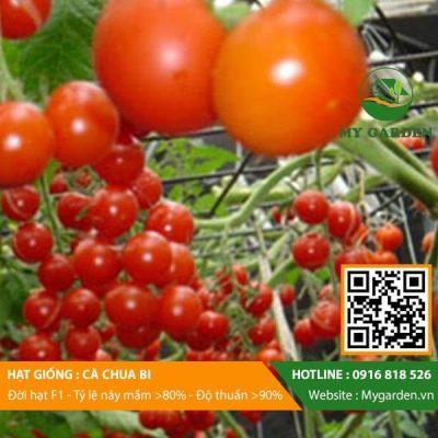 Hat-giong-Ca-chua-bi-My-Garden-hinh-11