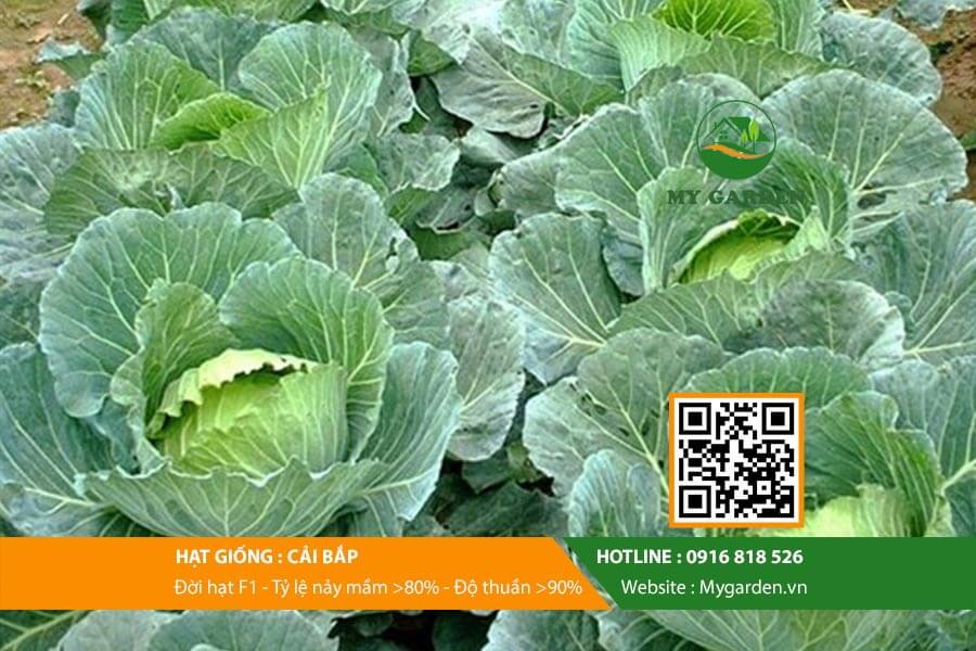 Hat-giong-Cai-bap-My-Garden-hinh-11