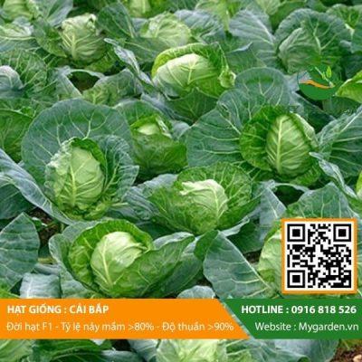 Hat-giong-Cai-bap-My-Garden-hinh-33