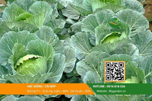 Hat-giong-Cai-bap-My-Garden-hinh-44