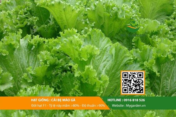Hat-giong-Cai-be-mao-ga-My-Garden-hinh-33