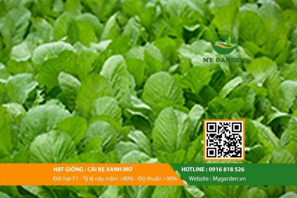 Hat-giong-Cai-be-xanh-mo-My-Garden-hinh-33